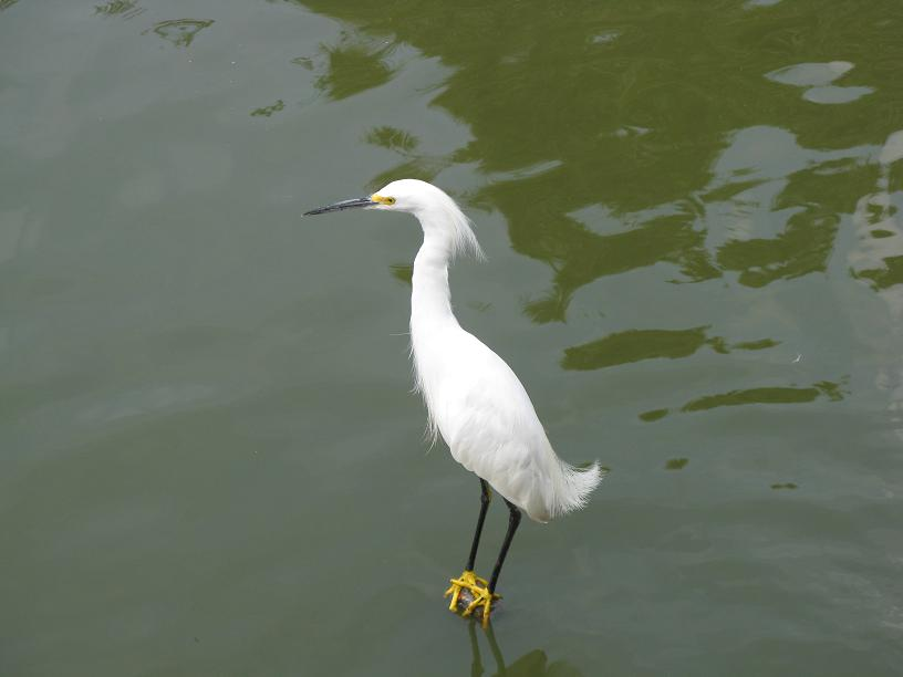 Picture of Snowy Egret