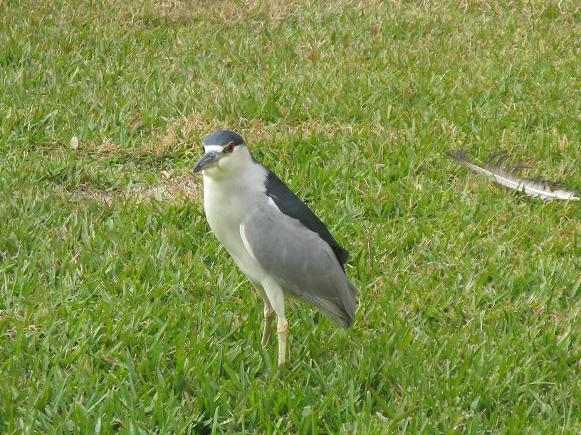Picture of Crowned Night Heron