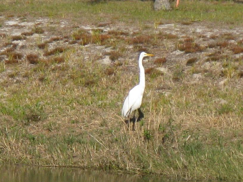Picture of White Heron
