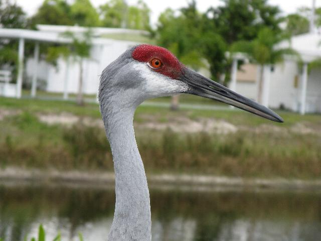 Picture of Sand Hill Crane