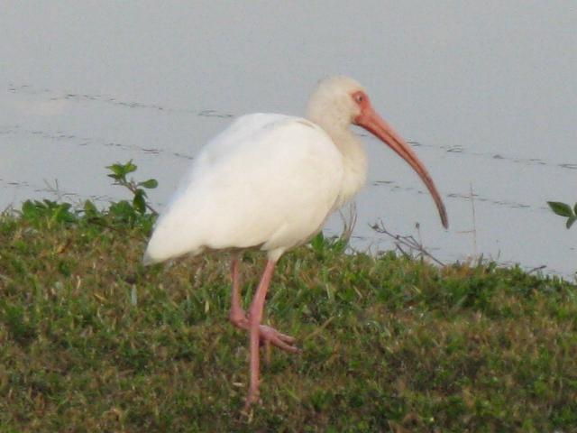 Picture of an Ibis